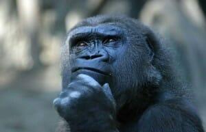 Gorilla che pensa a poker out e odds
